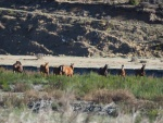 Remnant of Herd near Clarence River.jpg