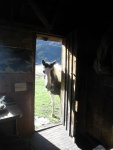 Horse looking in the Stanlevale hut door.jpg